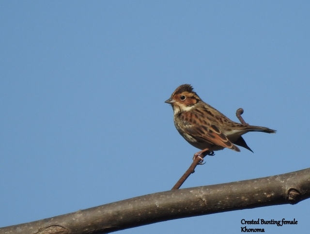 crested bunting f