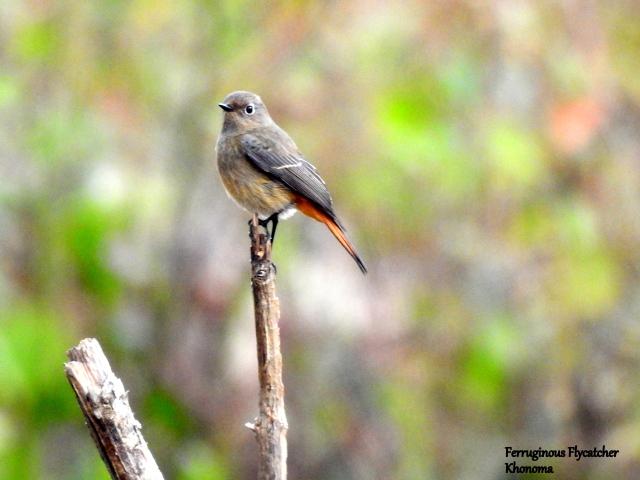 ferruginous flycatcher