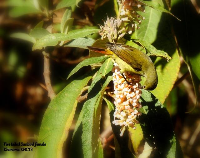 fire tailed sunbird f