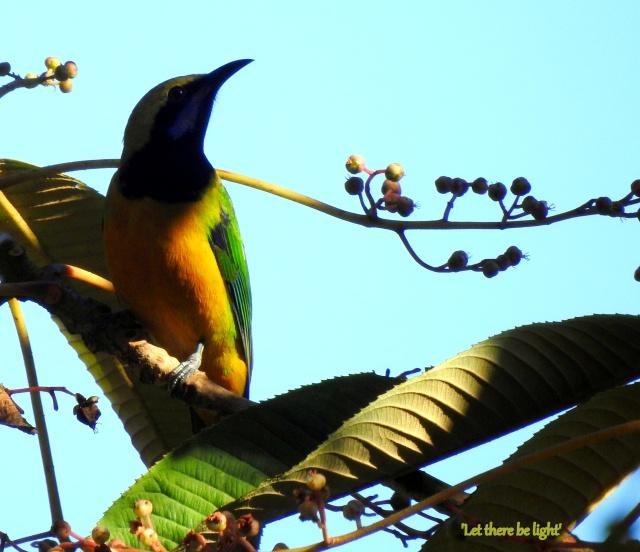 orange bellied leafbird 1